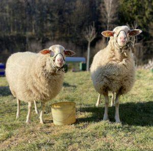 Landschaftspflege mit Schafen