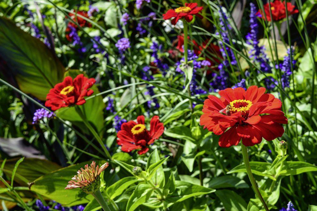 Blumenwiese mit Zinnie, Eisenkraut und Salbei