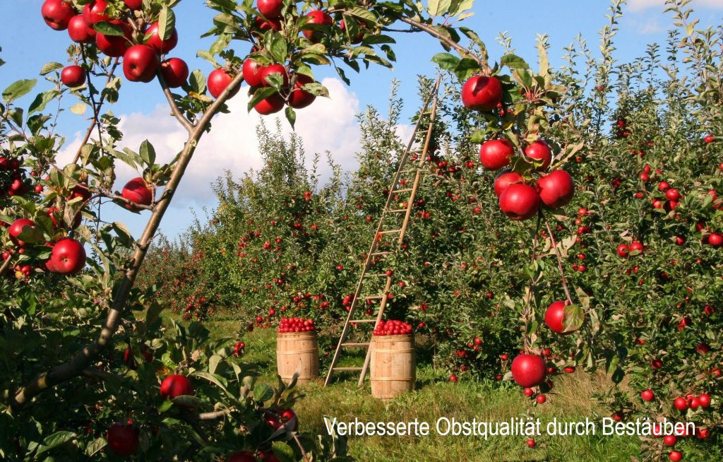 Obstgarten voller roter reifer Äpfel