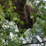 Bienenschwarm in Baum   C.Sluiter