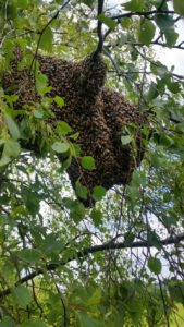 Bienenschwarm in Baum | C.Sluiter