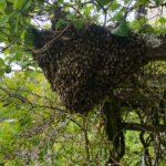 Bienenschwarm in einer Pergola   S. Gilg